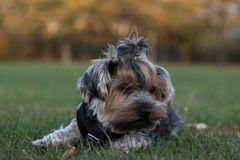 Little dog lying on the green grass royalty free stock images
