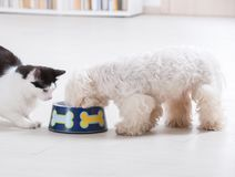 Dog and cat eating from a bowl. Little dog maltese and black and white cat eating food from a bowl at home Royalty Free Stock Images