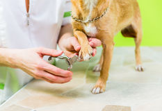 Little dog at manicure in dog grooming salon Royalty Free Stock Photo