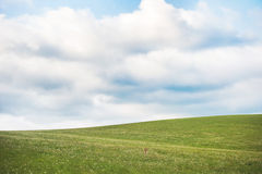 Little dog in a meadow Stock Images