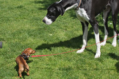 Little Dog Meets Big Dog. A tall and big dog (Great Dane puppy) is looking to a little and short dog (Dachshund) in front of him. They are in a public park Stock Photos