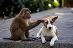 A little dog with a monkey. On the monkey hill in Thailand royalty free stock image