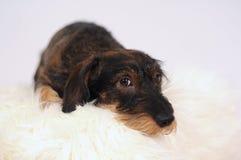 Little Dog On Sheepskin Stock Photography