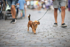 A little dog Royalty Free Stock Photography