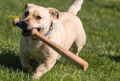 Little dog playing in the backyard with a baseball bat Royalty Free Stock Photography