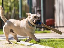 Little dog playing in the backyard with a baseball bat Royalty Free Stock Image