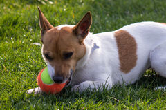 Little dog playing with a colorful tennis ball Stock Photo