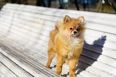 Little dog  playing outdoor on the bench Royalty Free Stock Photo