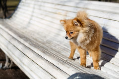 Little dog  playing outdoor on the bench Stock Images
