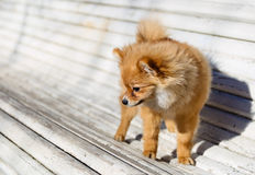 Little dog  playing outdoor on the bench Royalty Free Stock Image