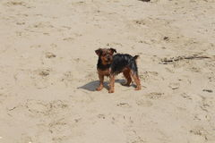 Little dog plays and barks at the beach royalty free stock image