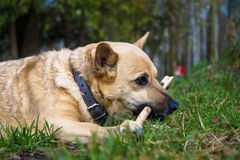 Little dog plays and chews a stick Royalty Free Stock Photo