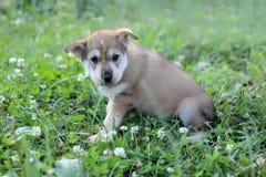 Little dog portrait Stock Photography