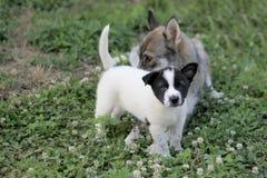 Little dog portrait Stock Images