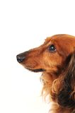 Little dog profile Royalty Free Stock Image
