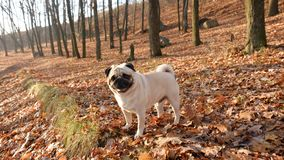 Little dog pug Confucius on the background of dry leaves in the backlight of the sun. stock photos