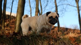Little dog is a pug Konfuciy, looking out for grass. stock photo