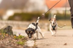 Little dog pulls on a leash while walking, Jack Russell Terrier doggy 2 years old. Little dogs pulls on a leash while walking, Jack Russell Terrier doggy 2 years stock image