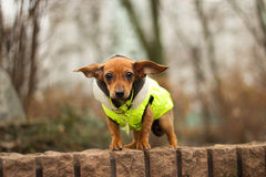Little dog Royalty Free Stock Photos