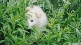 Little dog puppy is played and hides in the grass and large green plants.  stock footage