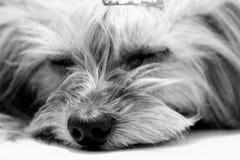 Little dog resting on the floor stock photo