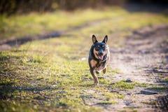 Little dog run Royalty Free Stock Photo