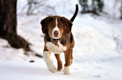 Little dog. Run at snow Royalty Free Stock Photography