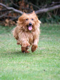 Little dog running Royalty Free Stock Photos