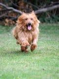 Little dog running. Cute little Australian Terrier running very fast across the grass Royalty Free Stock Photos