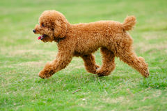 Little dog running Royalty Free Stock Images