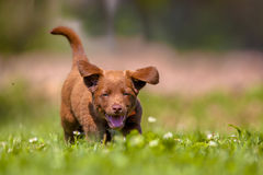 Little dog running in the garden Royalty Free Stock Photo