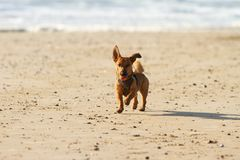 Little dog running and playing at the beach royalty free stock images