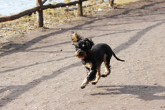 A little dog Russian black toy terrier jumped while running. Royalty Free Stock Photo