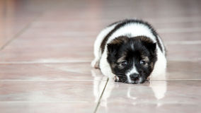 A little dog is so sad. indoor Stock Photo
