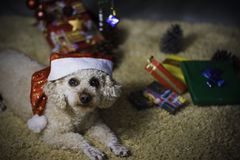 Little dog with Santa costume Royalty Free Stock Photo