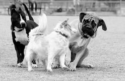 Little dog scaring the Mastiff. Black and white photo of dogs playing at the park with the little dog scaring away the big Mastiff stock image