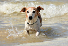 Little dog in the sea. Outdoor full body front view of a cute little old brown and white Parson Jack Russell Terrier dog running out of the sea water on the Royalty Free Stock Images