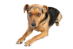 Little dog sit isolated Stock Photography