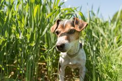 Little Jack Russell Terrier dog is sitting in a blooming green meadow in spring. Jack Russell Terrier 11 years old in a field with. Little dog sits in a blooming royalty free stock photography