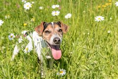 Little dog sits in a blooming meadow in spring. Jack Russell Terrier dog11 years old. Little dog sits in a blooming meadow in spring. Jack Russell Terrier 11 royalty free stock photography