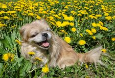 Little dog sitting in the grass and smiling royalty free stock image