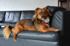 Little dog sits on his favourite place , the armchair backrest. Small mixed puppy dog sits on his favourite place and looks attentively at something in his stock images