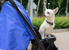 The little dog is sitting in a baby carriage royalty free stock photos