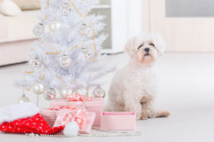 Little dog sitting with Christmas gifts. Cute little dog Maltese sitting with gifts near Christmas tree Royalty Free Stock Photo
