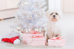 Little dog sitting with Christmas gifts. Cute little dog Maltese sitting with gifts near Christmas tree Stock Image