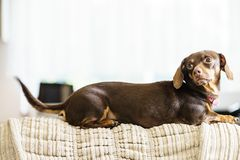 Little dog sitting on couch. Little dachshund purebreed long bodied short legged small dog sitting relaxing and chilling on sofa couch indoor Royalty Free Stock Photo