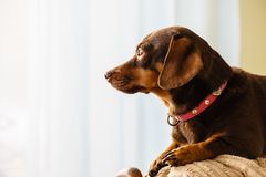 Little dog sitting on couch Royalty Free Stock Photos