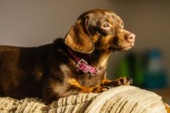 Little dog sitting on couch royalty free stock images