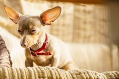 Little dog sitting on couch royalty free stock photography