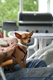 Little dog sitting on the man's lap Royalty Free Stock Photo